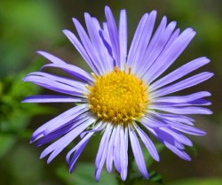 Image of New England Aster