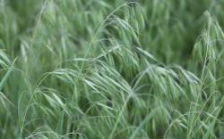 Image of Prairie Brome