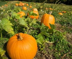 Image of Connecticut Field Pumpkin
