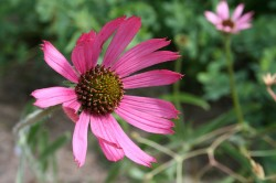 Image of Echinacea Collection