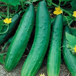 Image of Sweet Burpless Cucumber