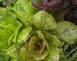Image of Romaine Lettuce Mix