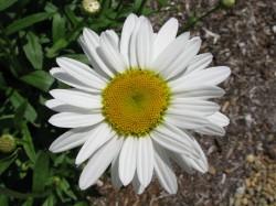 Image of Shasta Daisy