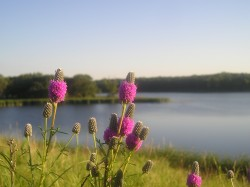Image of Purple Prairie Clover