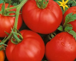 Image of ACE 55 - One fine Tomato!