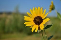 Image of Sunflower, Wild