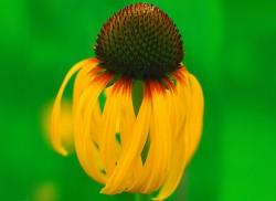 Image of Bush's Yellow Coneflower